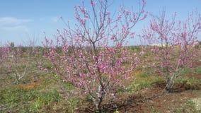 桃树的叶子开始开花 免版税图库摄影
