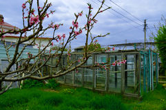 桃树的开花的分支 图库摄影