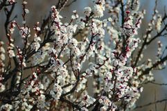 桃树花在春天 库存图片