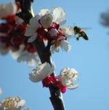 桃树花在春天 免版税图库摄影