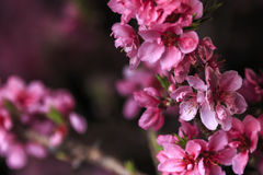 桃树进展的分支 免版税图库摄影