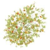 桃树顶视图用在白色隔绝的桃子 免版税库存照片