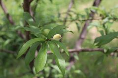 桃树,桃子,布朗,弄脏了背景 库存图片
