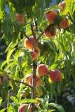 桃树 免版税库存图片