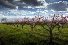 桃树 库存图片