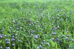 桃红色三叶草在草中的领域开花 美好的植物的背景 免版税库存图片