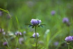桃红色三叶草在草中的领域开花 美好的植物的背景 库存照片