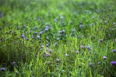 桃红色三叶草在草中的领域开花 Blured美好的植物的背景 免版税库存照片