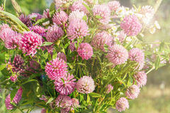桃红色三叶草花狂放的花束在绿草的在软性 免版税库存图片