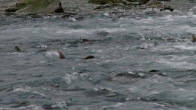 桃红色三文鱼游泳向上游入产生的疯狂 股票录像