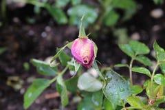 桃红色上升了有露水的芽 免版税库存图片