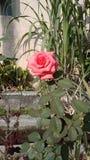 桃红色上升了花绿色特写镜头自然背景迷离 库存图片