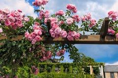 桃红色上升的玫瑰在莱茵河畔埃尔特菲莱上午莱茵 免版税库存图片