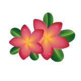 桃红色与在白色背景隔绝的叶子的羽毛frangipany花 库存例证