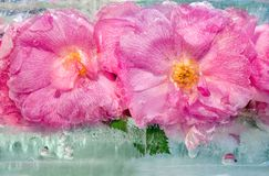 桃红色与绿色的玫瑰花背景在集成电路留给冻 免版税库存图片