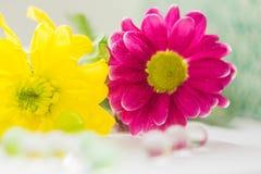 桃红色两朵的菊花和黄色特写镜头宏指令开花macrophoto 免版税库存图片