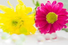 桃红色两朵的菊花和黄色特写镜头宏指令开花macrophoto 库存照片