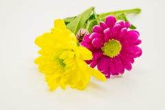 桃红色两朵的菊花和黄色特写镜头宏指令花 免版税图库摄影