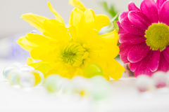 桃红色两朵的菊花和黄色特写镜头宏指令 免版税图库摄影