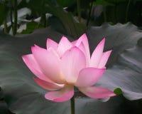 桃红色中国莲花开了花 图库摄影