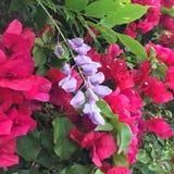 桃红色九重葛和紫色紫藤 免版税库存图片
