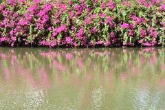 桃红色九重葛在公园开花在一个水池旁边的绽放 免版税库存照片