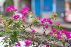 桃红色九重葛在庭院里 免版税库存图片