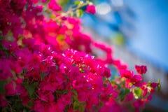 桃红色九重葛灌木,克利特,希腊 图库摄影