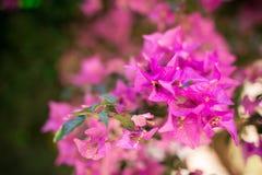桃红色九重葛灌木,克利特,希腊 免版税库存图片