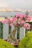 桃红色九重葛盆景在庭院,槟榔屿,马来西亚里 免版税库存照片
