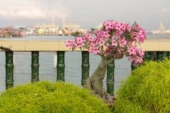 桃红色九重葛盆景在庭院,槟榔屿,马来西亚里 库存图片