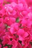 桃红色九重葛花束  图库摄影