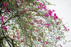 桃红色九重葛进展在春天的大束 免版税图库摄影