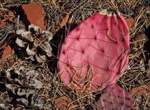 桃红色仙人掌垫和杉木锥体 库存图片