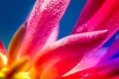 桃红色仙人掌开花的宏观射击 免版税库存图片