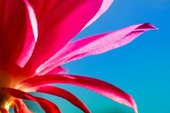 桃红色仙人掌开花的宏观射击 免版税库存照片