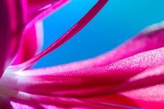桃红色仙人掌开花的宏观射击 库存照片