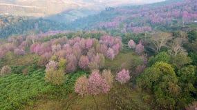 桃红色佐仓树或野生喜马拉雅樱桃在山 免版税库存照片