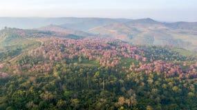 桃红色佐仓树或野生喜马拉雅樱桃在山 库存照片