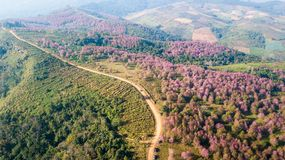 桃红色佐仓花或野生喜马拉雅樱桃在山 图库摄影