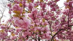 桃红色佐仓花,樱花,摇摆在风特写镜头背景中的喜马拉雅樱花 影视素材