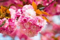桃红色佐仓不可思议的花束有绿色和黄色叶子的 免版税库存照片