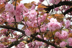 桃红色佐仓在京都日本 免版税图库摄影