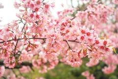 桃红色佐仓在泰国 图库摄影