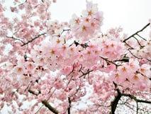 桃红色佐仓天空背景在日本 免版税图库摄影