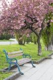 桃红色佐仓开花在Uzhgorod,乌克兰 图库摄影