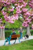桃红色佐仓开花在Uzhgorod,乌克兰 免版税库存图片