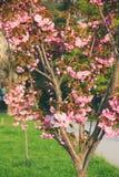 桃红色佐仓开花在Uzhgorod,乌克兰 库存照片