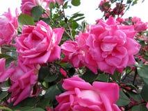 桃红色俏丽的玫瑰 免版税库存照片