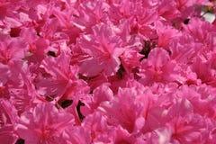 桃红色俏丽 库存图片